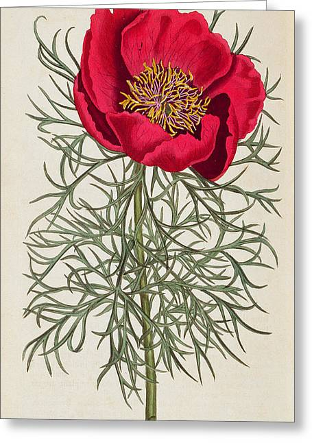 Volume Greeting Cards - Peony Greeting Card by William Curtis