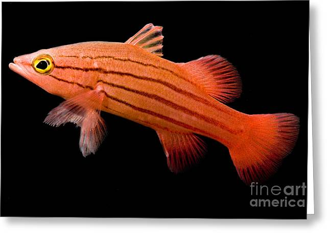 Reef Fish Greeting Cards - Peppermint Basslet Greeting Card by Danté Fenolio