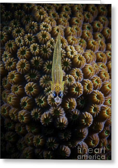 Undersea Photography Greeting Cards - Peppermint Goby On Coral Greeting Card by Terry Moore