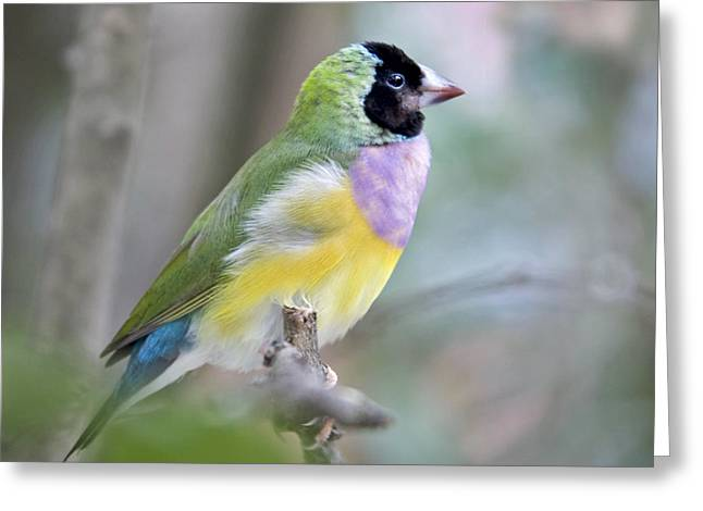 Best Seller Greeting Cards - Perched Gouldian Finch Greeting Card by Glennis Siverson