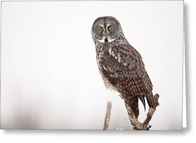 Falcon Hunting Greeting Cards - Perched Great Gray Owl Greeting Card by Tim Grams