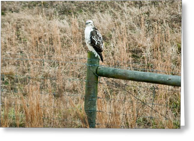 Preditor Greeting Cards - Perched Hawk Greeting Card by Douglas Barnett