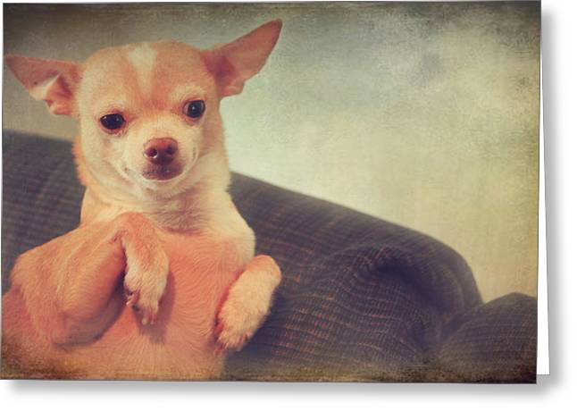 Toy Breed Greeting Cards - Perched Up High Greeting Card by Laurie Search
