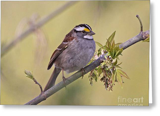 Sparrow Greeting Cards - Perched White-throated Sparrow Greeting Card by Chris Hill