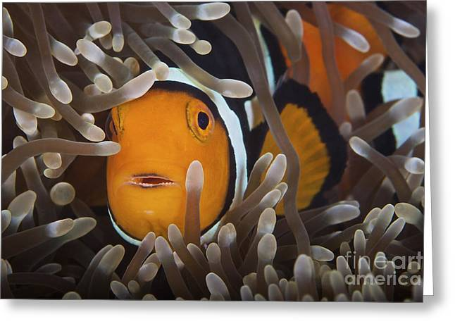 Undersea Photography Greeting Cards - Percula Clownfish In Its Host Anemone Greeting Card by Terry Moore