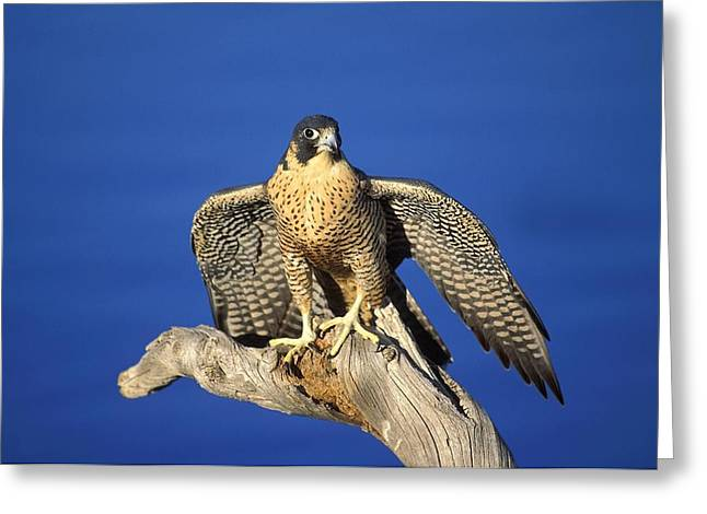 Majestic Falcon Greeting Cards - Peregrine Falcon On Perch Greeting Card by John Pitcher