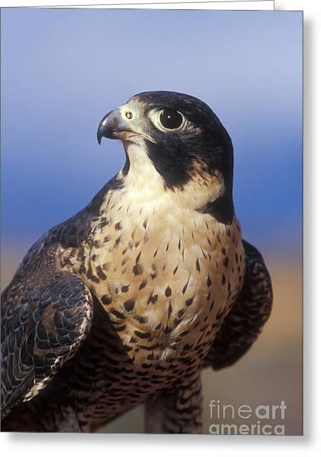 Predator Bird Greeting Cards - Peregrine Falcon Greeting Card by Sandra Bronstein