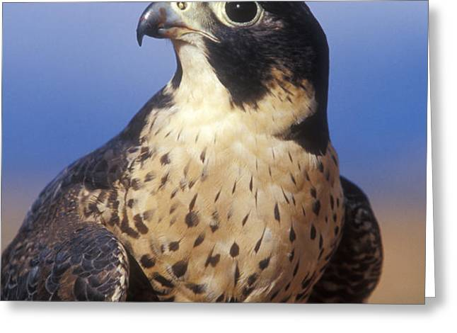 Peregrine Falcon Greeting Card by Sandra Bronstein