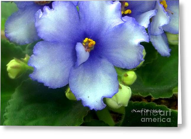 African Violets Greeting Cards - Periwinkle African Violet Greeting Card by Nancy Mueller