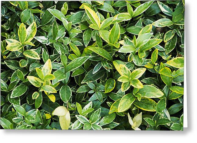 Vinca Greeting Cards - Periwinkle (vinca aureovariegata) Greeting Card by Archie Young