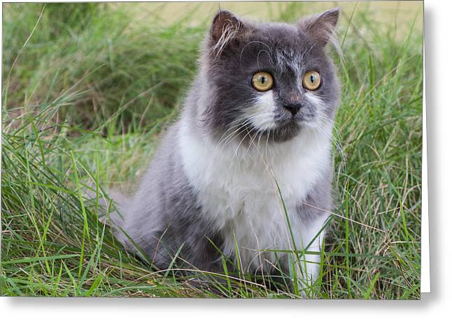 Greensward Greeting Cards - Persian cat sit in green yard Greeting Card by Nawarat Namphon