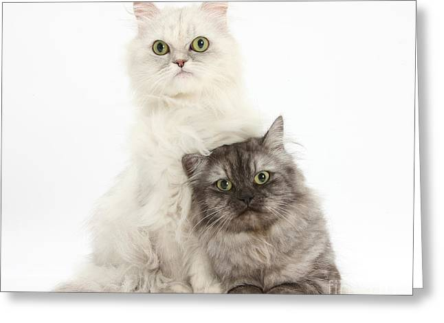 Cats Show Greeting Cards - Persian Cats Greeting Card by Mark Taylor
