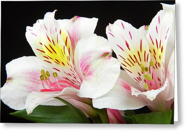 Pictures Buy Photography Greeting Cards - Peruvian Lilies Colorful Botanical Fine Art Print Greeting Card by James BO  Insogna