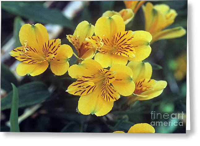 Peruvian Lily Greeting Cards - Peruvian Lily (alstroemeria jive) Greeting Card by Adrian Thomas