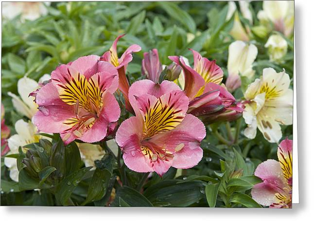 Lily Of The Incas Greeting Cards - Peruvian Lily Alstroemeria Sp Princess Greeting Card by VisionsPictures