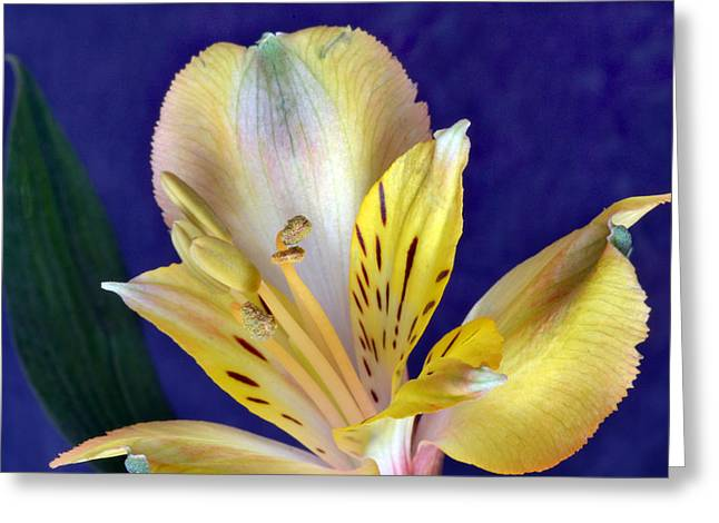 Peruvian Lily Greeting Cards - Peruvian Lily Greeting Card by Terence Davis