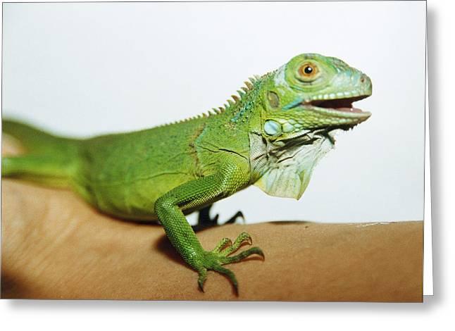 Pet Iguana Greeting Card by Cristina Pedrazzini
