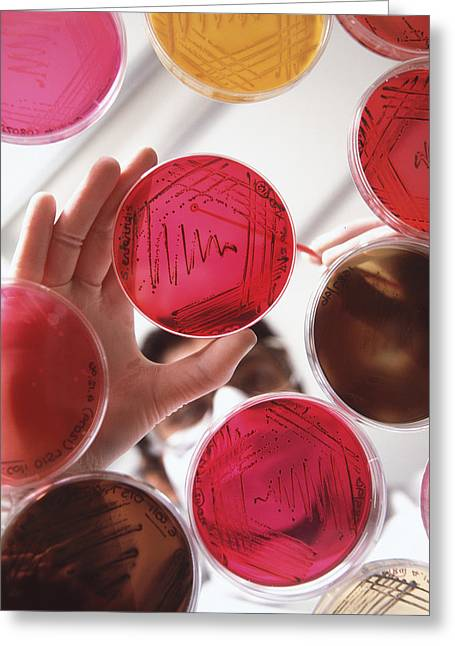 Rounded Circular Greeting Cards - Petri Dish Bacterial Cultures, Picking Colony Greeting Card by Tek Image