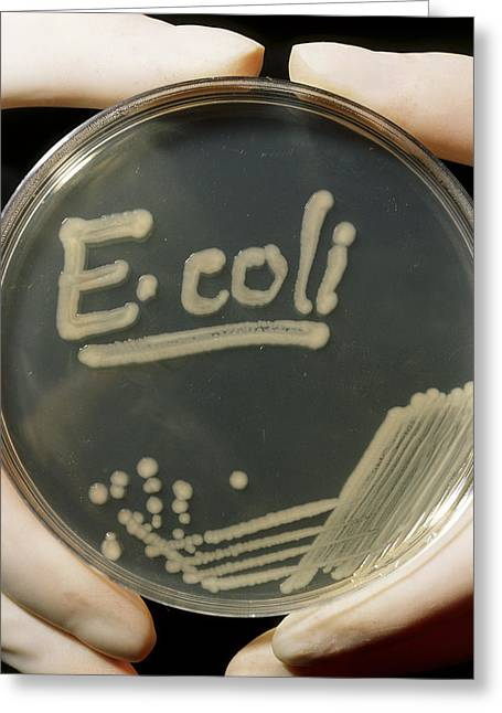 Gram-negative Greeting Cards - Petri Dish Culture Of E.coli Bacteria Greeting Card by Dr Jeremy Burgess