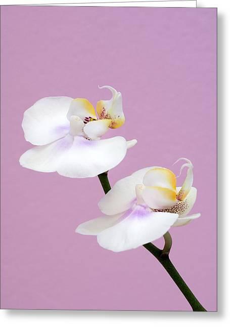 Phalaenopsis Flowers (phalaenopsis Sp.) Greeting Card by Lawrence Lawry