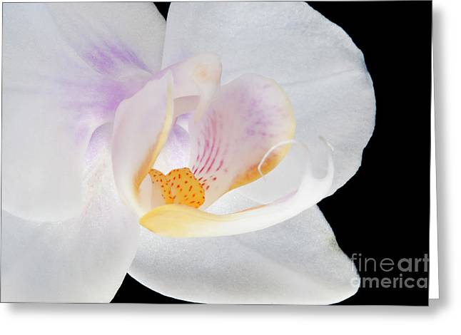Phalenopsis Greeting Cards - Phalenopsis I visit www.AngeliniPhoto.com for more Greeting Card by Mary Angelini