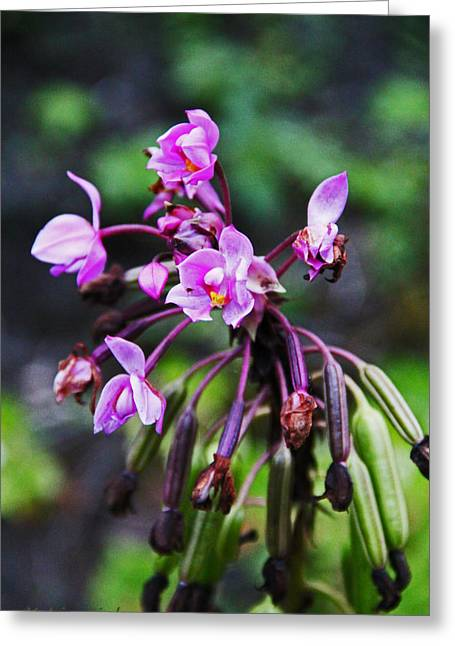 Wild Orchid Greeting Cards - Philippine Orchid Greeting Card by Kerri Ligatich