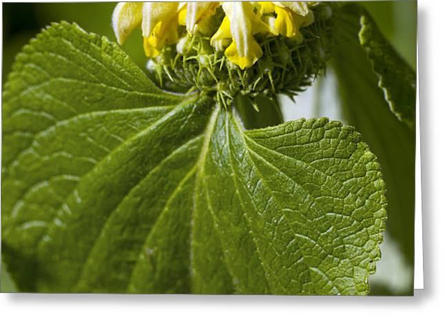 Phlomis Russeliana Greeting Card by Dr Keith Wheeler