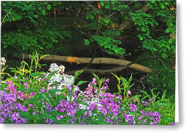 Phlox Greeting Cards - Phlox Along The Creek 7185 Greeting Card by Michael Peychich