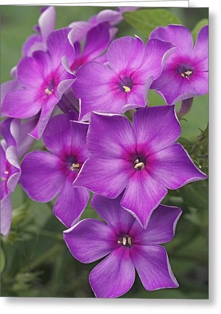 Purple Phlox Greeting Cards - Phlox Paniculata Greeting Card by Dr. Nick Kurzenko