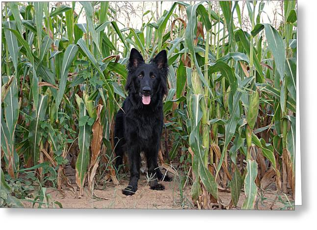 Indiana Art Greeting Cards - Phoenix in the Cornfield Greeting Card by Sandy Keeton