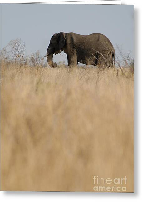 Sami Sarkis Greeting Cards - Photo of african Elephant Greeting Card by Sami Sarkis