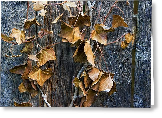 Vine Leaves Photographs Greeting Cards - Photograph of some dead leaves and vines hanging on a wooden fence Greeting Card by Randall Nyhof