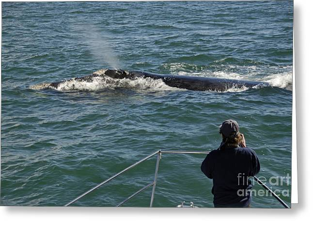 Right Whale Breach Greeting Cards - Photographer on whale watching boat Greeting Card by Sami Sarkis