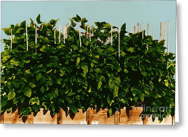 Soybean Greeting Cards - Photoperiodicity In Soybean Plants Greeting Card by Science Source