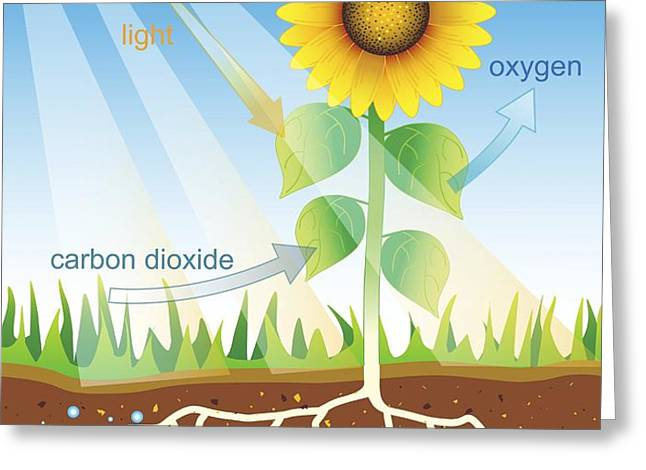 Photosynthesis, Illustration Greeting Card by David Nicholls