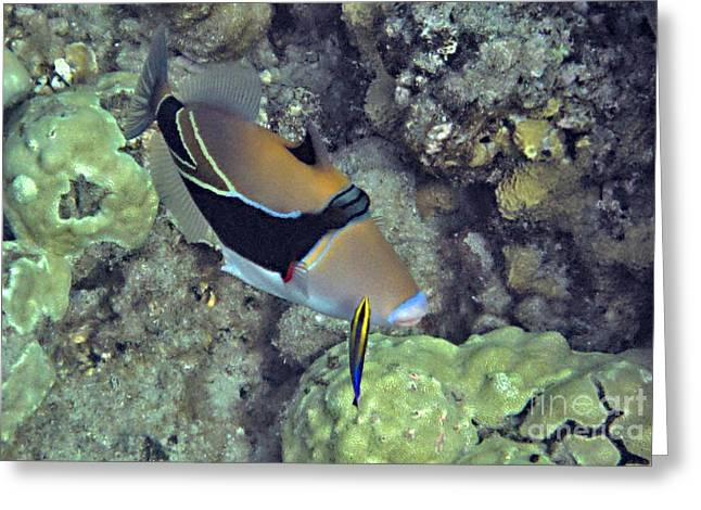 Reef Fish Greeting Cards - Picasso with Cleaner Wrasse Greeting Card by Bette Phelan