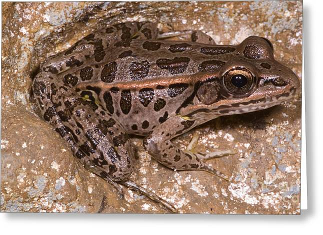 Pickerel Greeting Cards - Pickerel Frog Greeting Card by Dante Fenolio