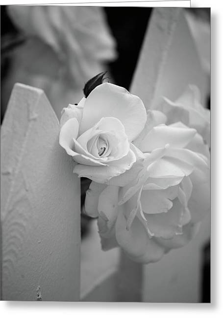 Picket Fence Greeting Cards - Picket Rose Greeting Card by Peter Tellone