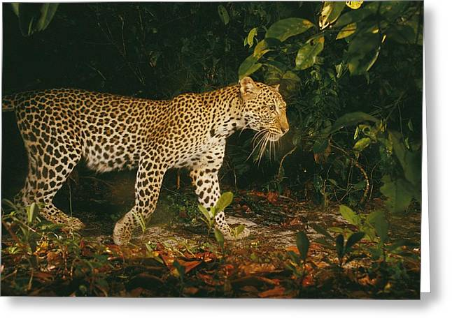 Remote Cameras And Remote Camera Traps Greeting Cards - Picture Of A Patrolling Leopard Greeting Card by Michael Nichols