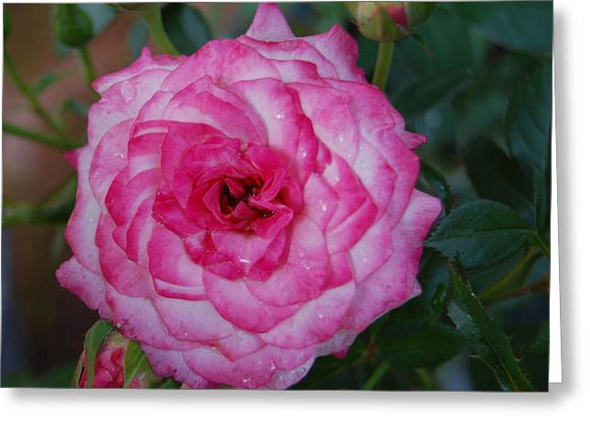 Rosebush Greeting Cards - Picture Perfect Greeting Card by Helen Carson