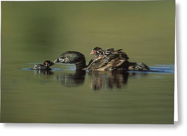 Three Chicks Greeting Cards - Pied Billed Grebe Parent With Two Greeting Card by Tim Fitzharris