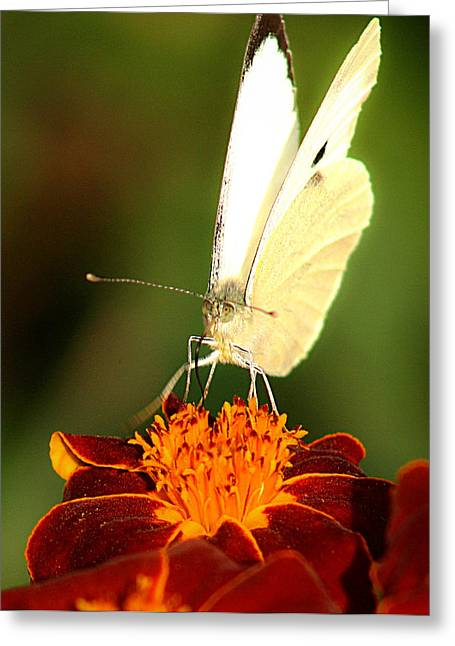 Best Sellers -  - Eating Entomology Greeting Cards - Pieris brassicae Greeting Card by Emanuel Tanjala