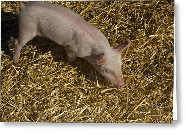 Pig. Piglet. Hoof. Straw. Beacon.snout. Ears. Pink. Tail. Nature. Outdoors. Farm. Animal. Wildlife. Ham. Cooking. Food. Feeding. Roast Pig. Greeting Cards - Pig. Yummy roasted Greeting Card by Michael Clarke JP