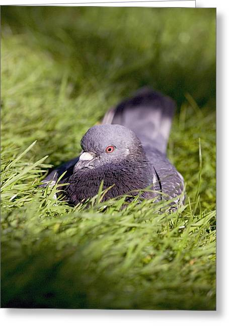 Livia Greeting Cards - Pigeon Greeting Card by Georgette Douwma