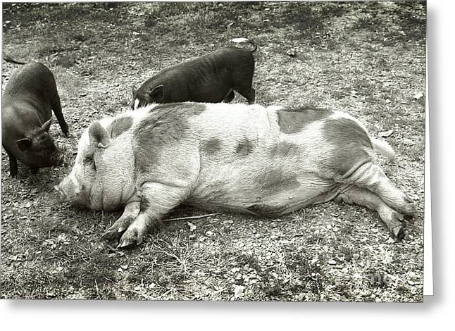 Potbelly Pig Greeting Cards - Piggies Greeting Card by Virginia Furness