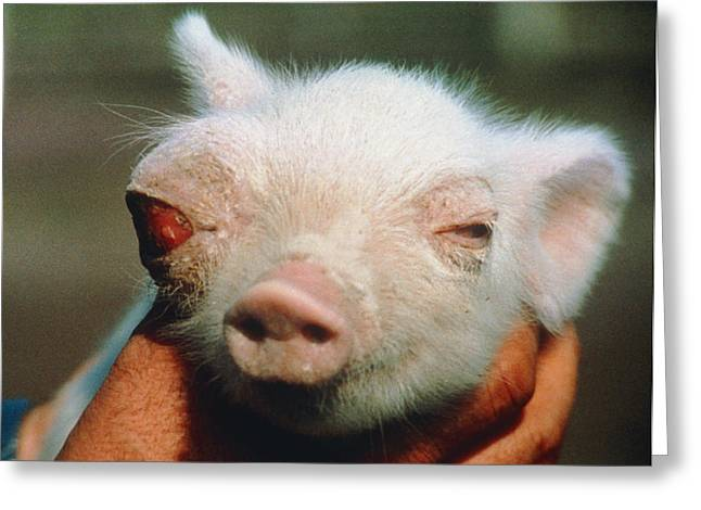 Piglets Greeting Cards - Piglet Born Deformed Due To Chernobyl Fallout. Greeting Card by Ria Novosti