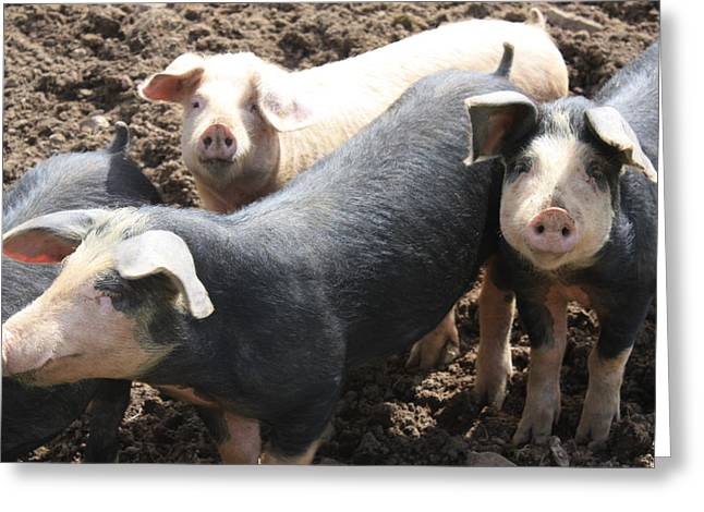 Piglets Greeting Cards - Piglets Greeting Card by Emer O Hara