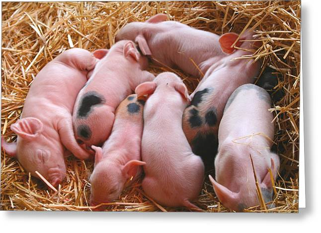 Piglets Greeting Cards - Piglets Greeting Card by Sally Bauer
