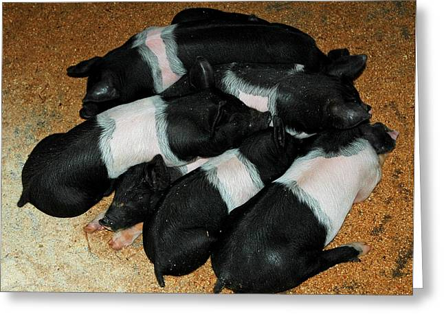 The Agricultural Life Greeting Cards - Pile of Piglets Greeting Card by LeeAnn McLaneGoetz McLaneGoetzStudioLLCcom