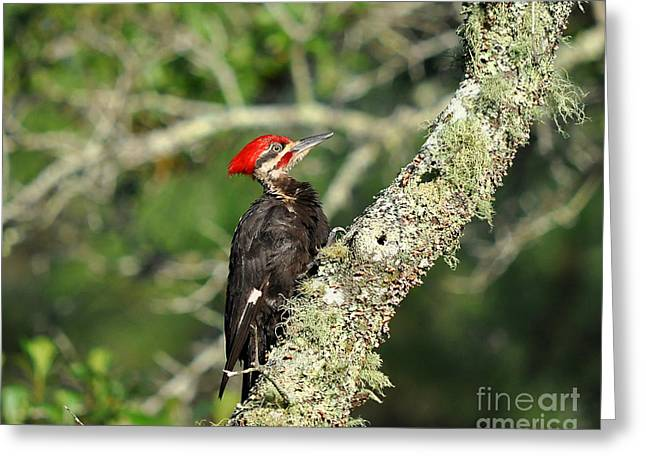 Pileated Woodpecker Greeting Cards - Pileated Papa Greeting Card by Al Powell Photography USA